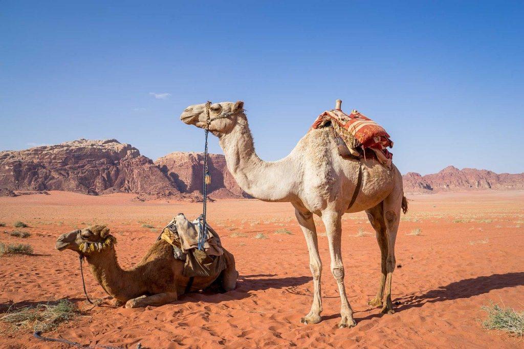 camel, wadi rum, desert